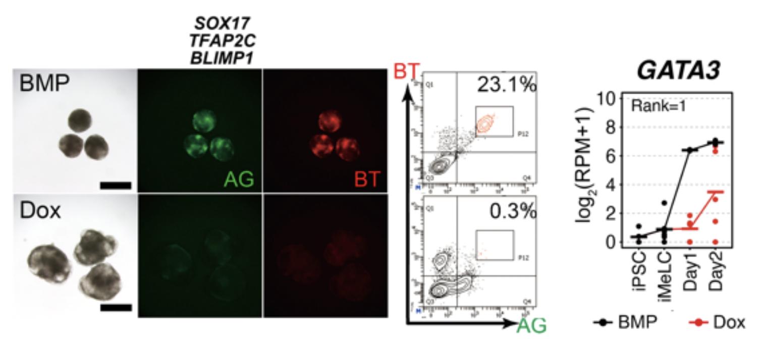 図1. SOX17, TFAP2C, BLIMP1の強制発現では始原生殖細胞用細胞は誘導できない TFAP2C-EGFP (AG)とBLIMP1-tdTomato (BT)の2種類の蛍光レポーターを導入したヒトiPS細胞株を、BMP4を用いて始原生殖細胞へと誘導したもの(上:BMP)とDoxを用いてSOX17, TFAP2C, BLIMP1の3遺伝子を強制発現したもの(下:Dox)。BMPではBTとAGがともに陽性である始原生殖細胞様細胞が出現するが、Doxのみではほとんど出ない。これらの細胞の遺伝子発現を網羅的に解析した結果、GATA3遺伝子の発現が誘導1日目(Day1)で大きく差があることが明らかになった。