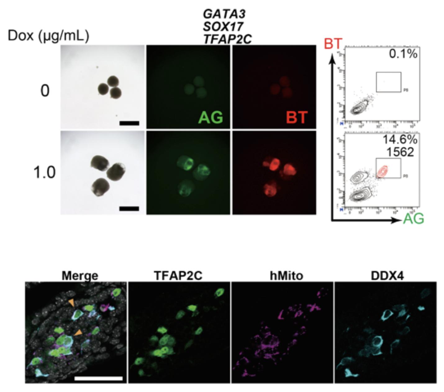 図2. GATA3, SOX17, TFAP2Cの強制発現で始原生殖細胞用細胞に誘導できる図1と同様にしてDoxを用いてGATA3, SOX17, TFAP2C, BLIMP1の3遺伝子を強制発現するとBTとAGがともに陽性である細胞が出現する (上)。この細胞を回収し、マウス胎仔の生殖巣細胞とともに11週間培養すると分化の進んだ生殖細胞に特徴的なDDX4の発現を認める(下)。免疫染色を用いて生殖細胞のマーカーであるTFAP2CとDDX4を、マウスとヒトの細胞を区別するためにヒトミトコンドリア特異的な抗体を用いて染色した。ヒト由来細胞がDDX4を発現していることが分かる。