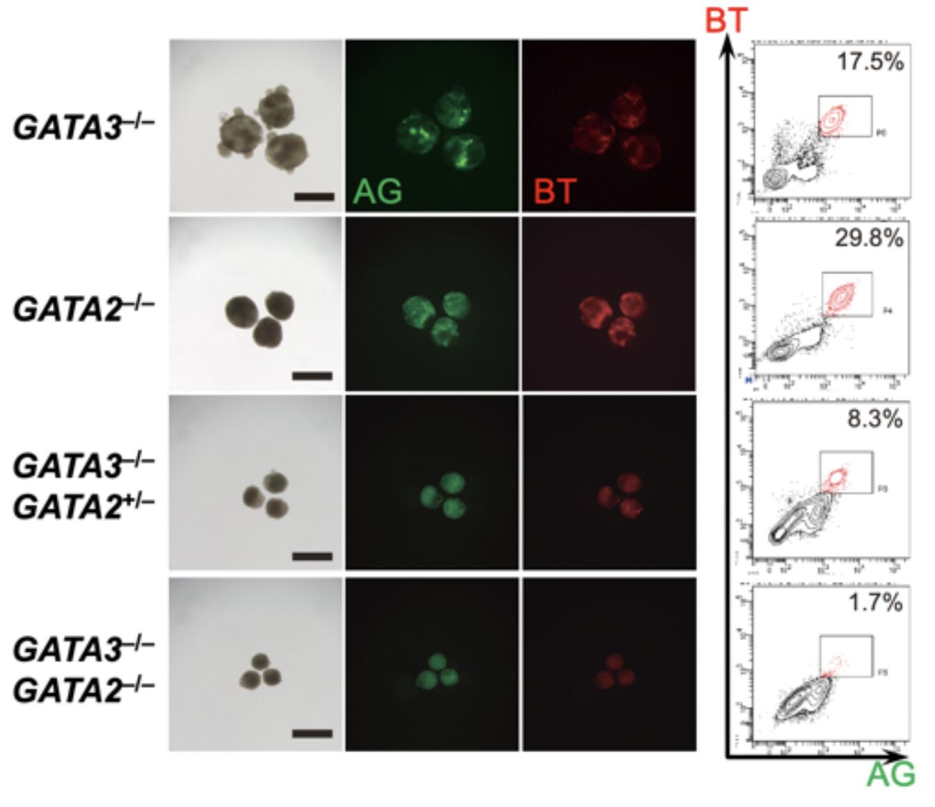 図3. GATA3またはGATA2がないと生殖細胞に分化できない クリスパーCas9を用いてGATA3とGATA2のノックアウトiPS細胞株を作製した。GATA3のみのノックアウト(GATA3–/–)、GATA2のみのノックアウト(GATA2–/–)ではいずれもBMP4の刺激により、BTとAGがともに陽性な生殖細胞が形成されるが、GATA3ノックアウトにGATA2が片アレルのみ変異したもの(GATA3–/–; GATA2+/–)では数が減り、GATA3とGATA2ともにノックアウトした株(GATA3–/–; GATA2–/–)ではほとんど誘導されなくなる。