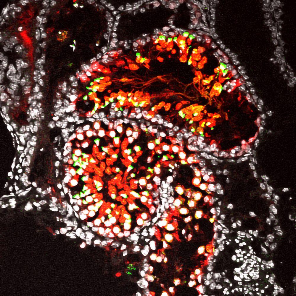 雄性生殖細胞の全分化過程の試験管内再構成に成功